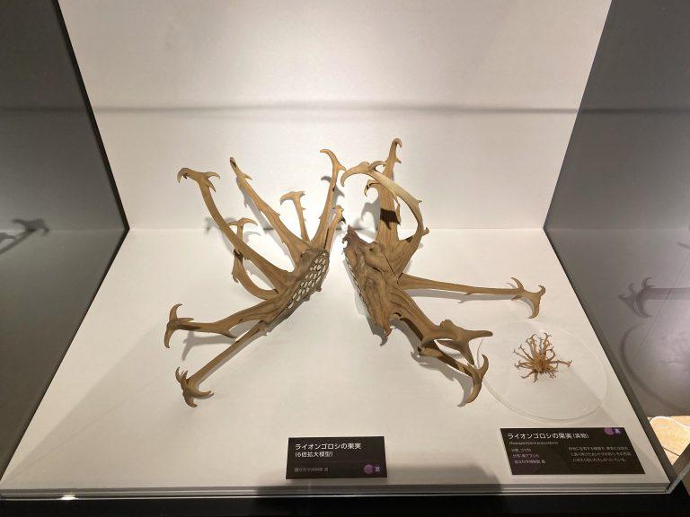 左から『ライオンゴロシの果実』の6倍拡大模型(国立科学博物館蔵)と実際の果実。