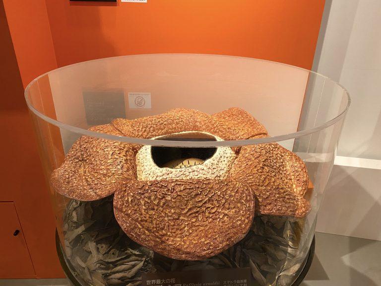『ラフレシア』(実物大模型) 産地:インドネシア(スマトラ島) 京都府立植物園蔵