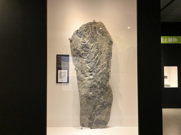 約3億年前の『オドントプテリス・デュフレスノイ(葉)』(福井県立恐竜博物館蔵)。後期石炭紀を代表し、メデゥロサ類と呼ばれるシダ種子類の葉の化石。
