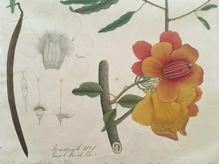 逸名インド画家 テコメラ一種(ハウゼンガツラ科)(部分) 19世紀初頭 水彩、紙 キュー王立植物園蔵
