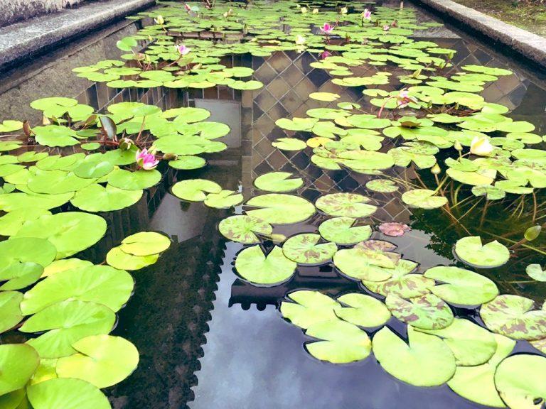 「工芸・東洋館」の入口の池にはモネの邸宅から株分けされた睡蓮